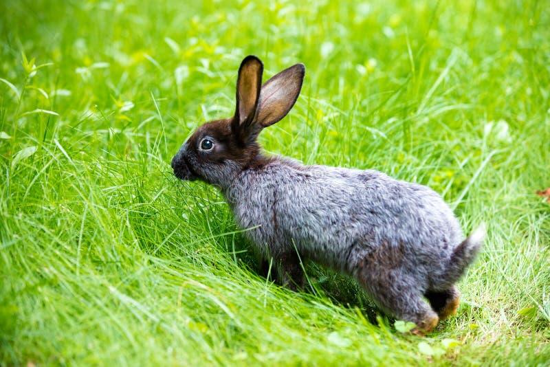 Szary królika odprowadzenie na trawie fotografia royalty free