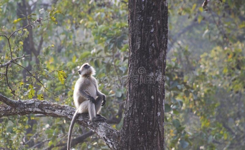 Szary langur obsiadanie na przyglądającym up i drzewie zdjęcie stock