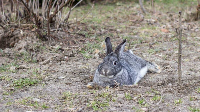 szary mały królik fotografia royalty free