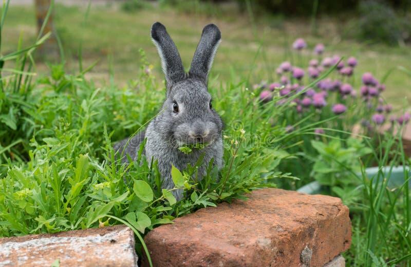 szary mały królik obraz stock