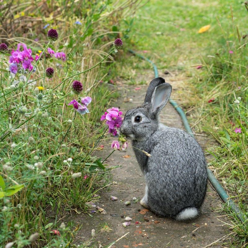 szary mały królik zdjęcia stock