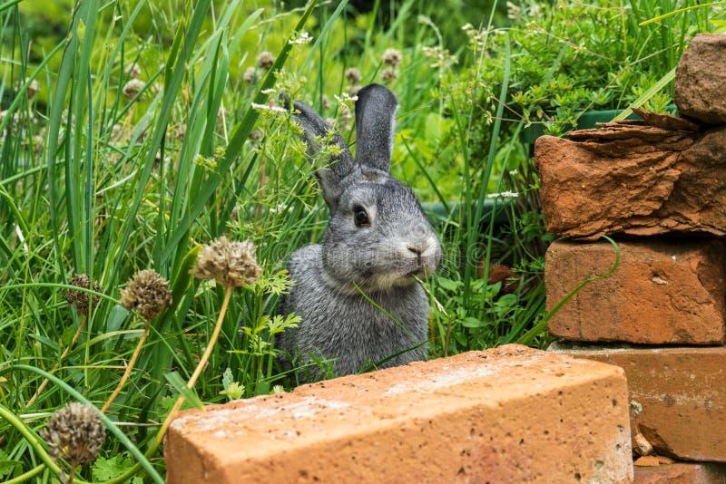 szary mały królik zdjęcie royalty free