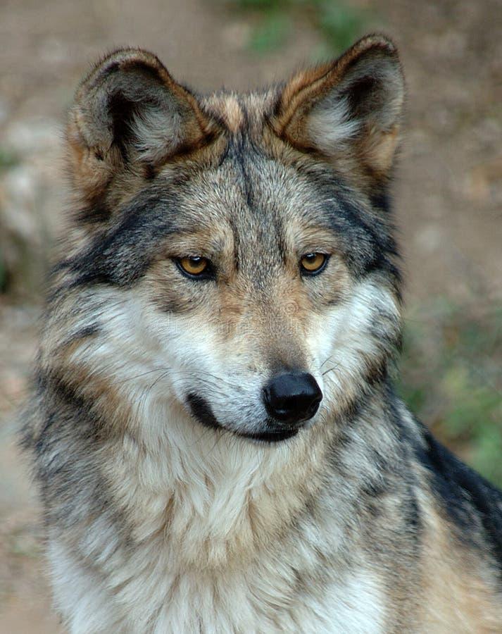 szary meksykański wilk zdjęcie stock