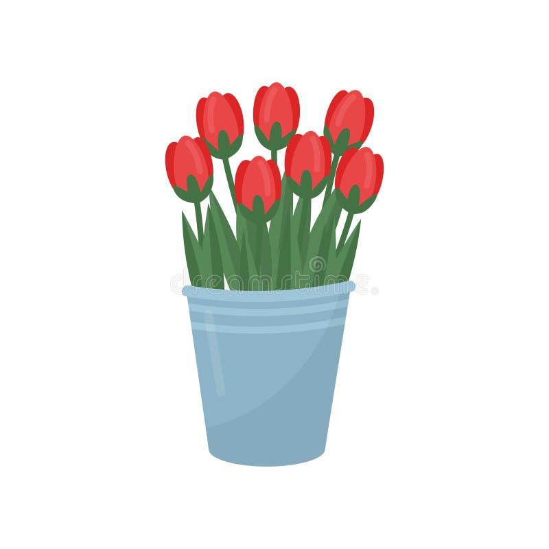 Szary metalu wiadro z czerwonymi tulipanami Bukiet piękni wiosna kwiaty Ogrodowa roślina Kwiecisty temat Płaski wektorowy projekt ilustracji