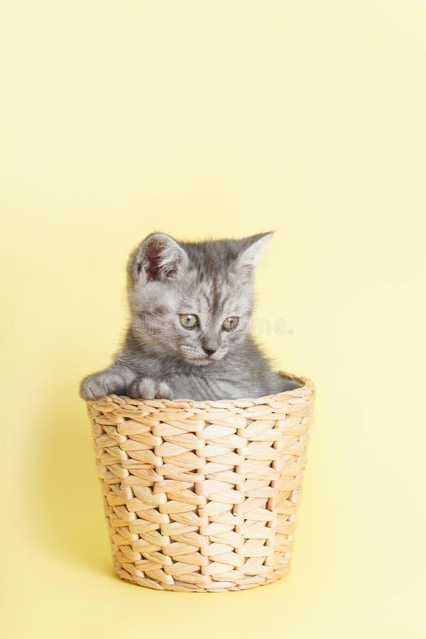 Szary owłosiony Brytyjski mały kot na żółtym tle w łozinowym wygrzewa się obraz royalty free