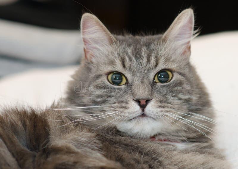 Download Szary Owłosiony Siberian Kot Zdjęcie Stock - Obraz złożonej z śliczny, dziecko: 28967798