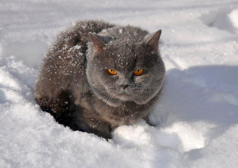 Szary puszysty Brytyjski kot siedzi w śniegu w górę obraz royalty free