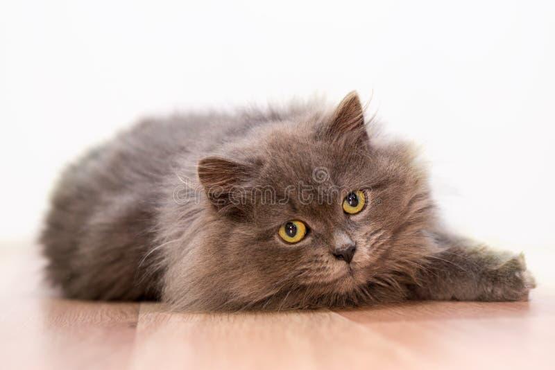 Szary puszysty kot z żółtymi oczami isolate obrazy royalty free