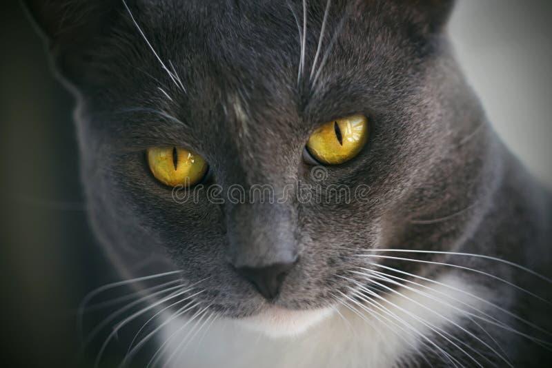 Szary puszysty kot z jaskrawymi kolorów żółtych oczami i wąskimi uczniami zdjęcie stock