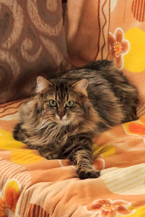 Szary puszysty kota obsiadanie na leżance zdjęcie stock