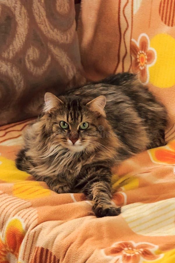 Szary puszysty kota obsiadanie na leżance zdjęcie royalty free