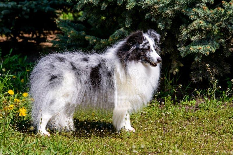 Szary Shetland Sheepdog obraz royalty free