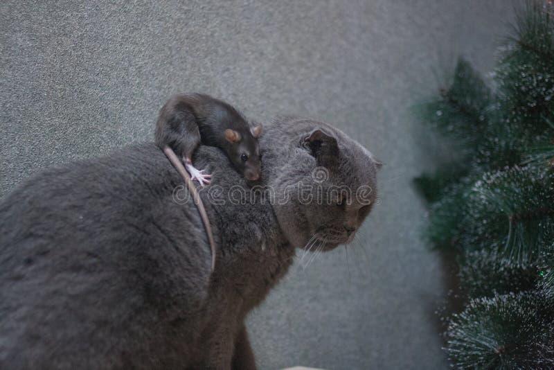 Szary szczur jadący wielkim szarym kotem niebezpieczeństwo symbol chiński zdjęcie royalty free