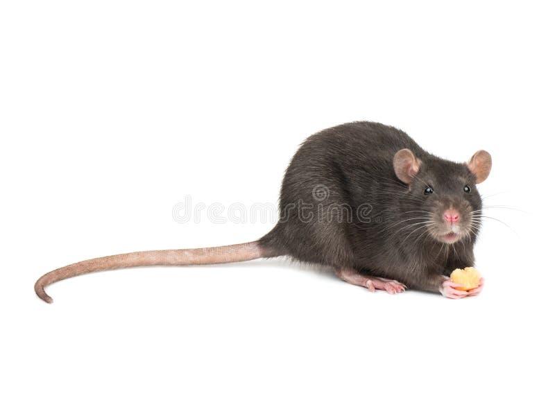 Szary szczura mienia ser zdjęcie royalty free