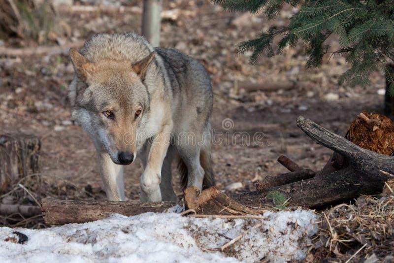 szary wilk w drewnach w wczesnej wio?nie fotografia royalty free