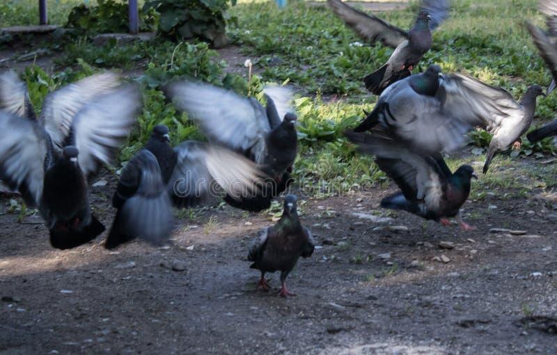 Szarzy gołębie nagle zdejmowali w różnych kierunkach zdjęcia royalty free