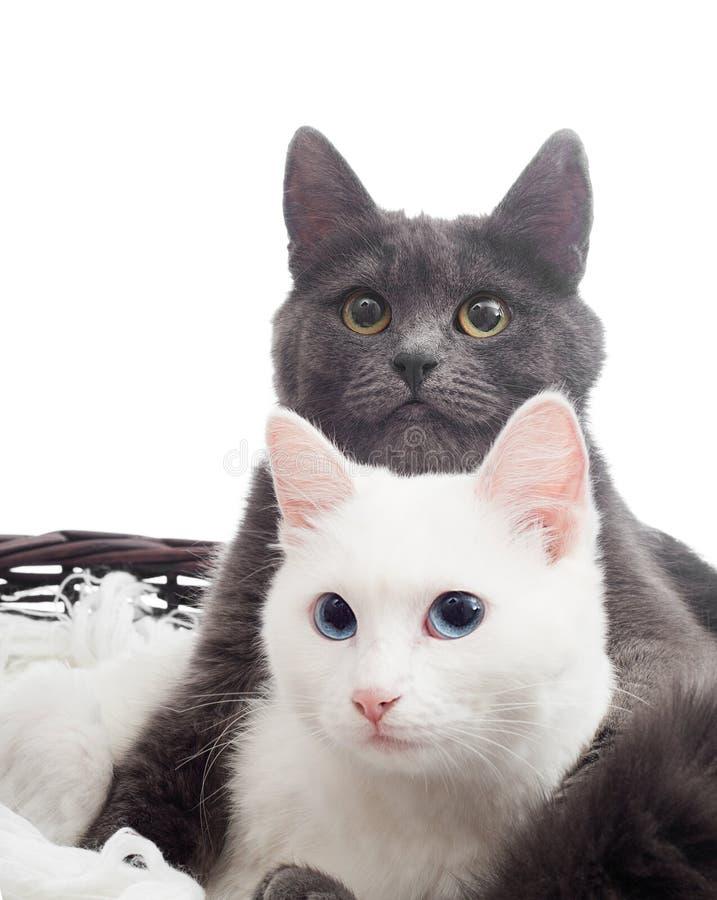 Szarzy i biali koty obrazy stock