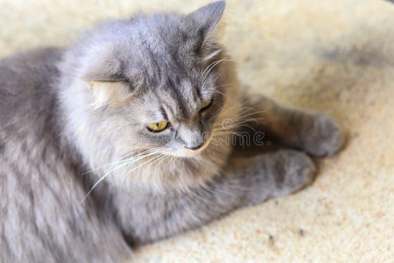 Szarzy koty są odpoczynkowi zdjęcie royalty free