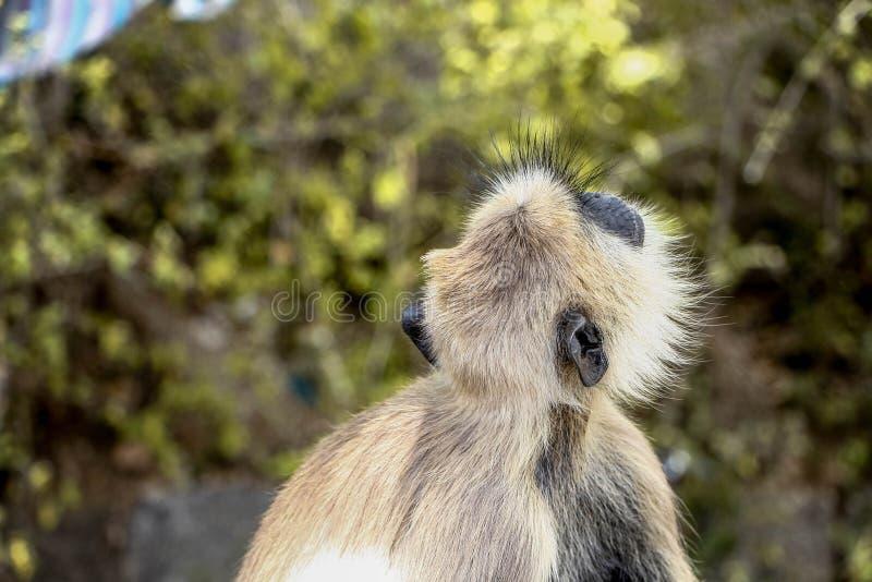 Szarzy langur małpy gatunki w dżungli obraz royalty free