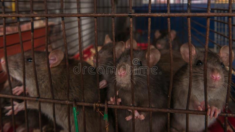 Szarzy szczury siedzą w klatce na rynku dla zwierząt obrazy stock