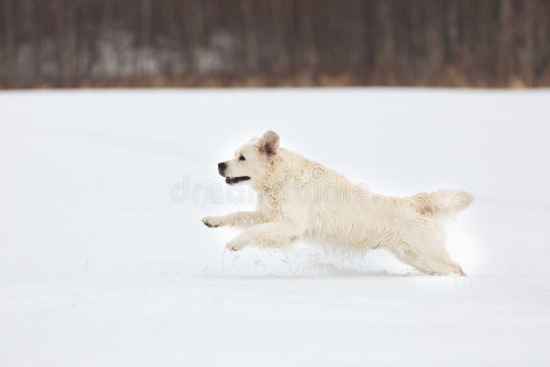 Szczęśliwy golden retriever psa bieg post w polu w zimie obrazy royalty free