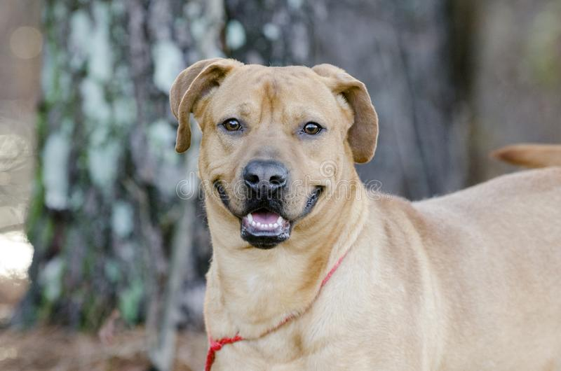 Szczęśliwa czerwona ogara psa trakenu psa mieszająca samiec obrazy royalty free