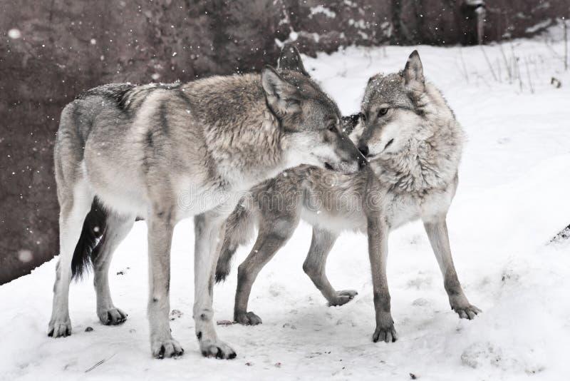 Szczęśliwa para małżeńska wilki, żeński wilk i męski wilka stojak wpólnie, wpólnie wpólnie zdjęcie stock