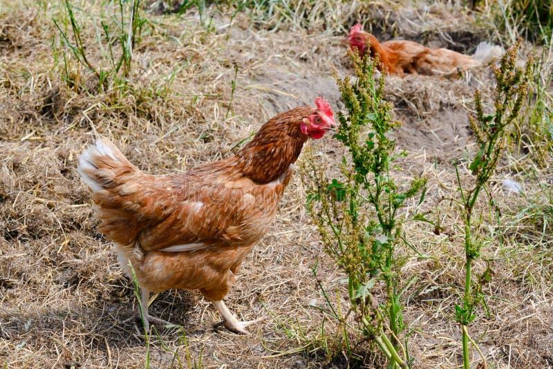 Szczęśliwa rolna karmazynka - bezpłatne pasmo karmazynki podtrzymywalny gospodarstwo rolne w kurczaku uprawiają ogródek zdjęcia stock