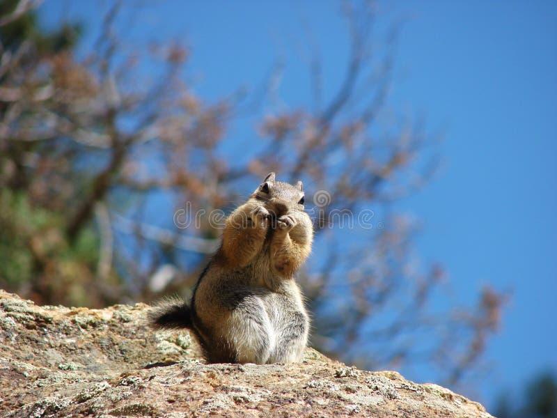 Szczęśliwa wiewiórka w amerykańskiej naturze obraz stock