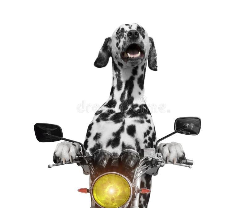 Szczęśliwe pies przejażdżki na motocyklu zdjęcie royalty free