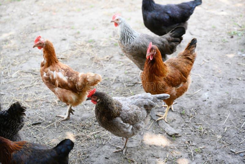 Szczęśliwe rolne karmazynki - bezpłatne pasmo karmazynki podtrzymywalny gospodarstwo rolne w kurczaku uprawiają ogródek zdjęcie stock