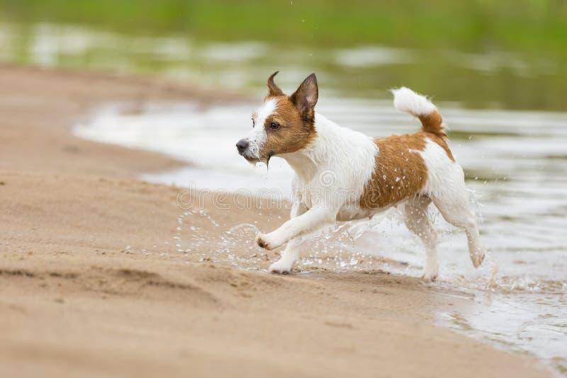 Szczęśliwego śmiesznego teriera psi bawić się, biegać i skakać, obraz stock