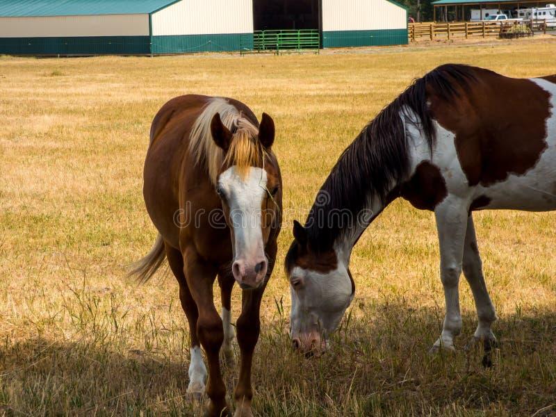 Szczęśliwi konie w paśniku obrazy royalty free