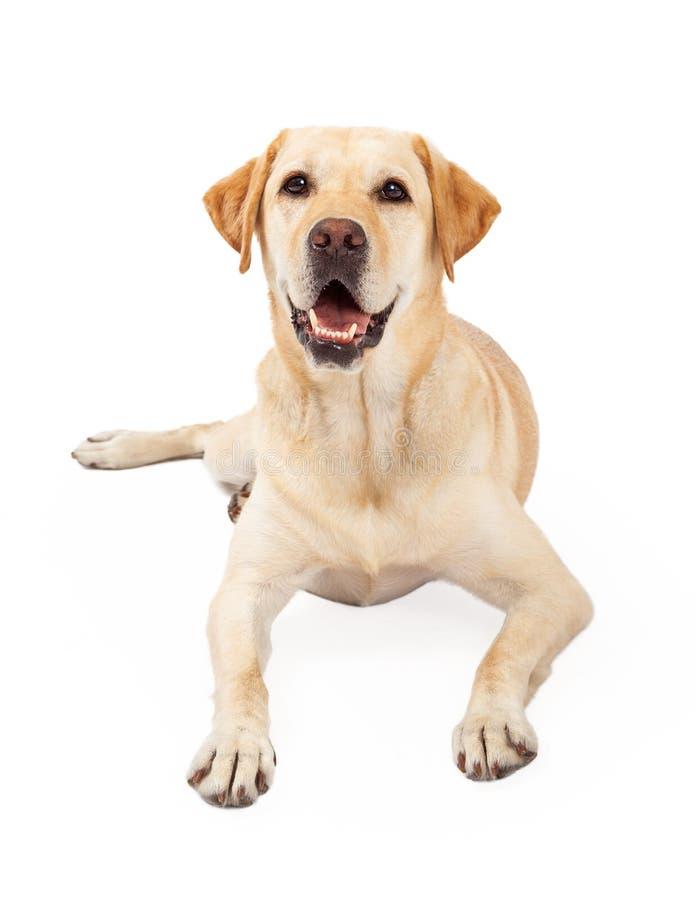 Szczęśliwy Żółty Labrador Retriever psi kłaść zdjęcia royalty free