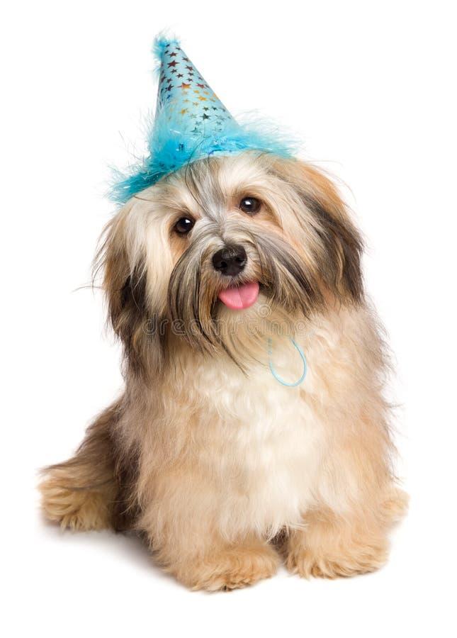 Szczęśliwy Bichon Havanese szczeniaka pies w błękitnym partyjnym kapeluszu zdjęcie royalty free