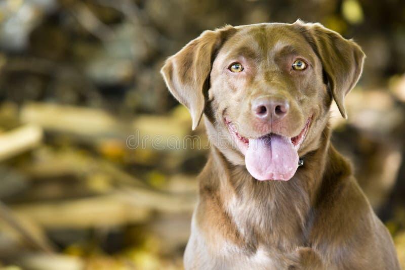 Szczęśliwy Brown Labradora Aporter zdjęcie royalty free