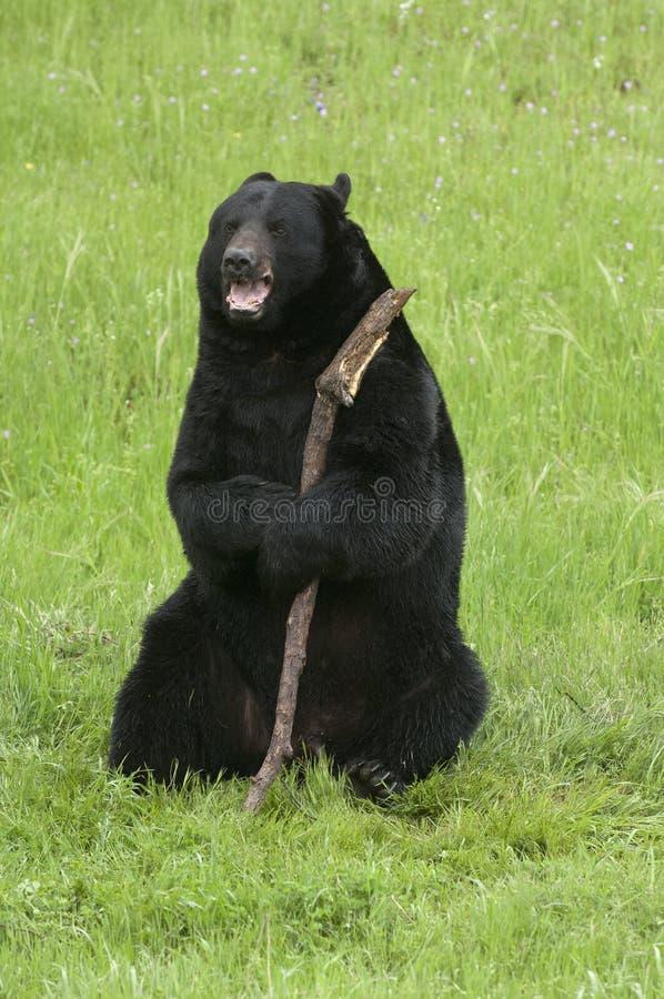 Szczęśliwy czarny niedźwiedź z kijem na zielonej trawie w Kalifornia blisko Yo zdjęcia stock