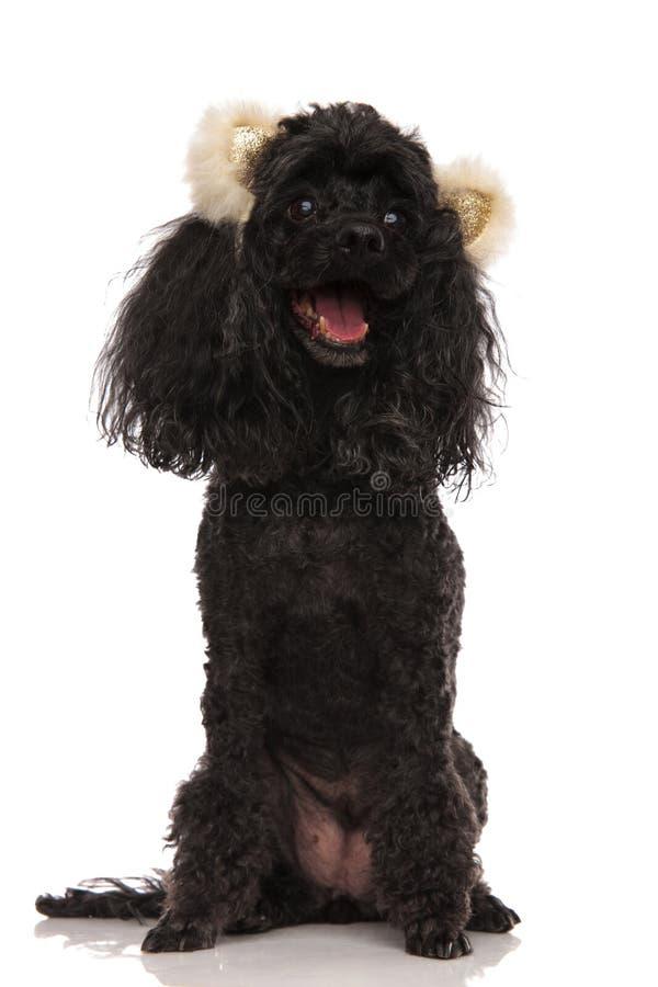 Szczęśliwy czarny pudel jest ubranym niedźwiadkową ucho kapitałkę obrazy stock