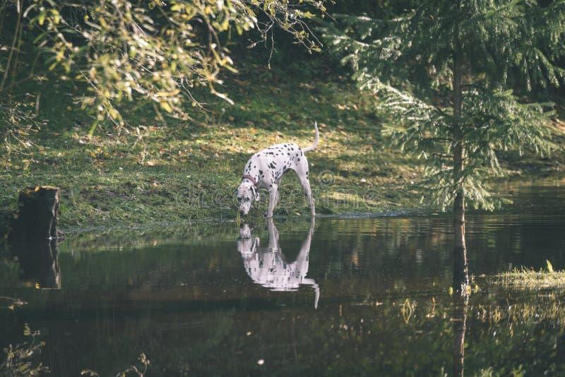 szczęśliwy dalmatian pies bawić się w wodzie - rocznika filmu spojrzenie fotografia stock