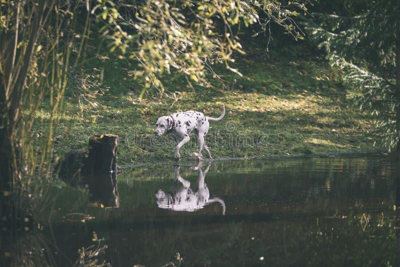 szczęśliwy dalmatian pies bawić się w wodzie - rocznika filmu spojrzenie obraz royalty free