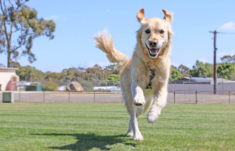Szczęśliwy golden retriever pies biega z smycza zdjęcia royalty free
