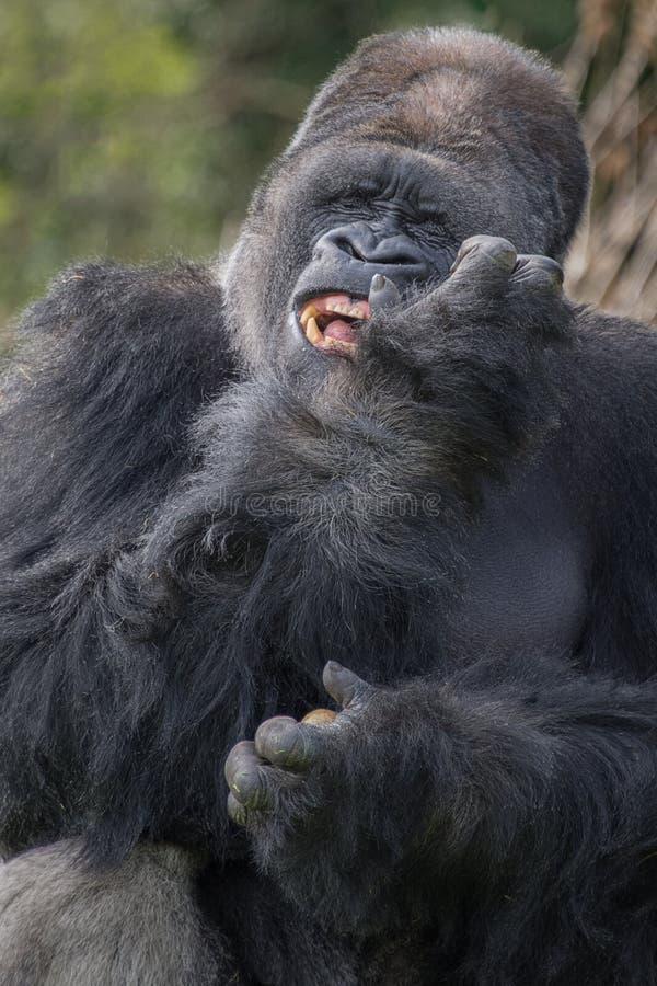 Szczęśliwy goryl fotografia stock