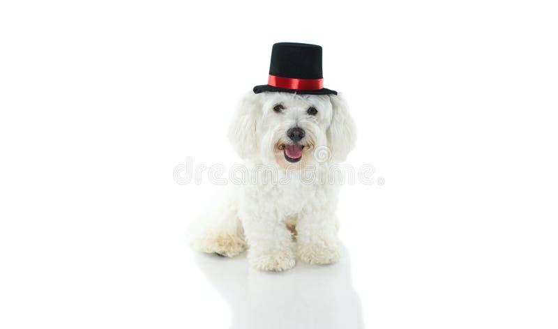 SZCZĘŚLIWY I ŚLICZNY MALTAŃSKIEGO psa KOSTIUMOWY magik ŚWIĘTUJE HALLOWE fotografia stock