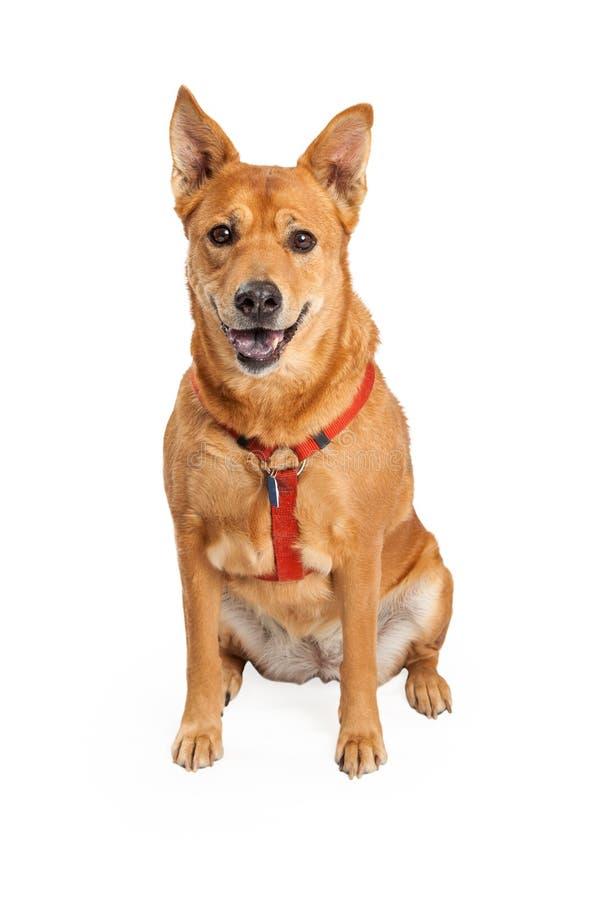 Szczęśliwy Karolina pies Jest ubranym Czerwoną nicielnicę fotografia stock