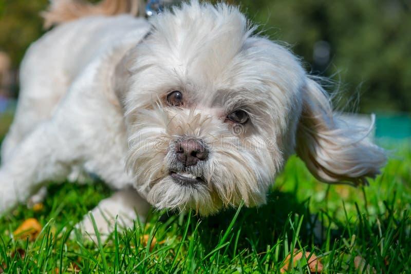 Szczęśliwy mały pies bawić się w parku zdjęcia royalty free