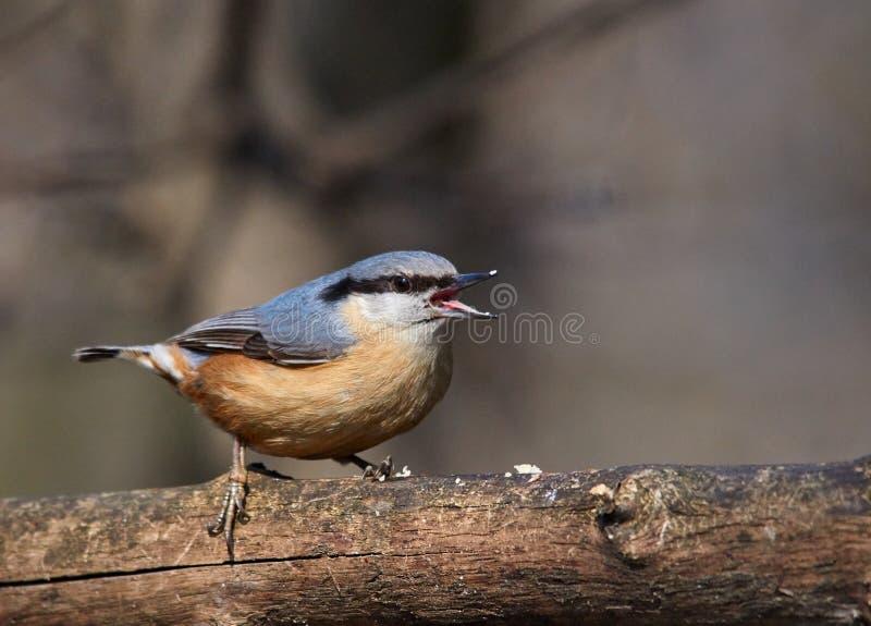 Szczęśliwy mały wróblowaty Eurazjatycki Sitta europaea lub bargiel ptaka śpiew obraz stock