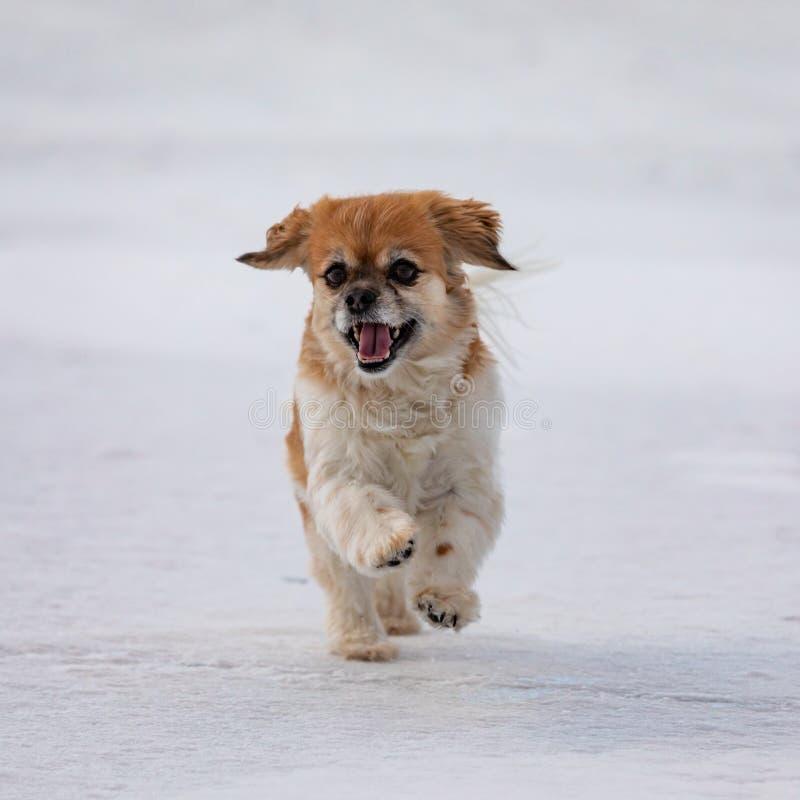 Szczęśliwy Nonszalancki królewiątka Charles spaniela psa bieg zdjęcie stock