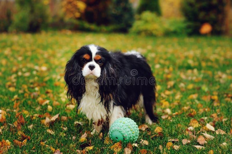 Szczęśliwy nonszalancki królewiątka Charles spaniela psi bawić się z zabawkarską piłką obraz royalty free