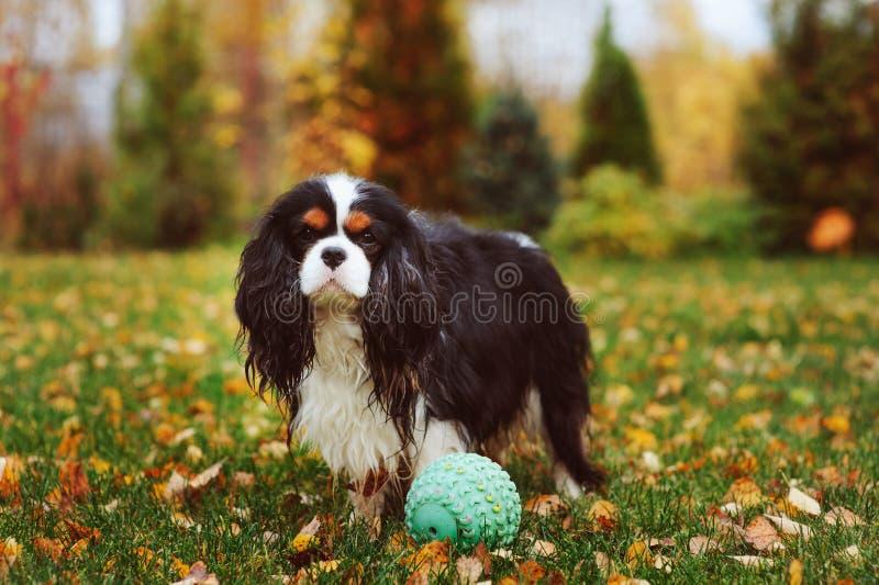 Szczęśliwy nonszalancki królewiątka Charles spaniela psi bawić się z zabawkarską piłką obrazy royalty free