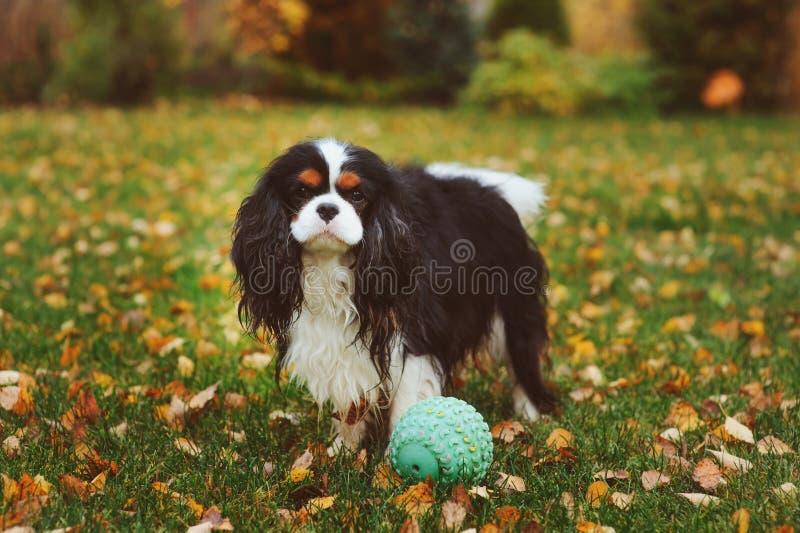 Szczęśliwy nonszalancki królewiątka Charles spaniela psi bawić się z zabawkarską piłką fotografia royalty free